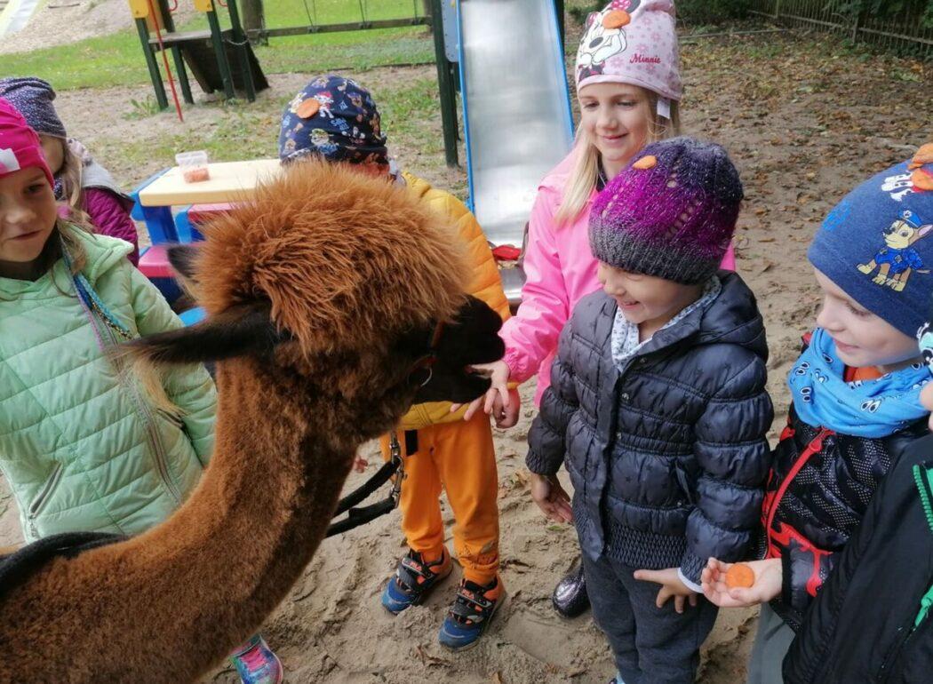Dzieci karmią alpakę